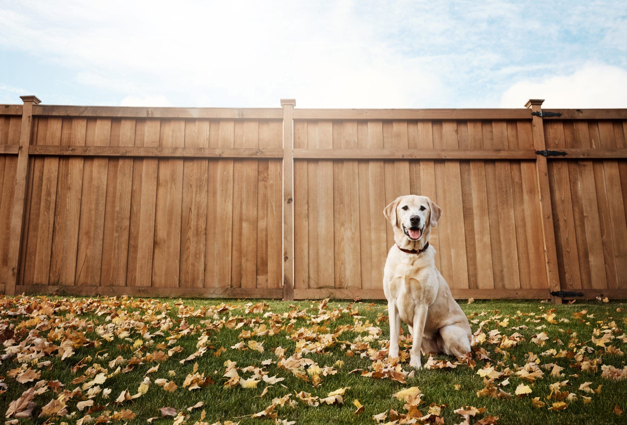 yellow lab sits in yard with leaves