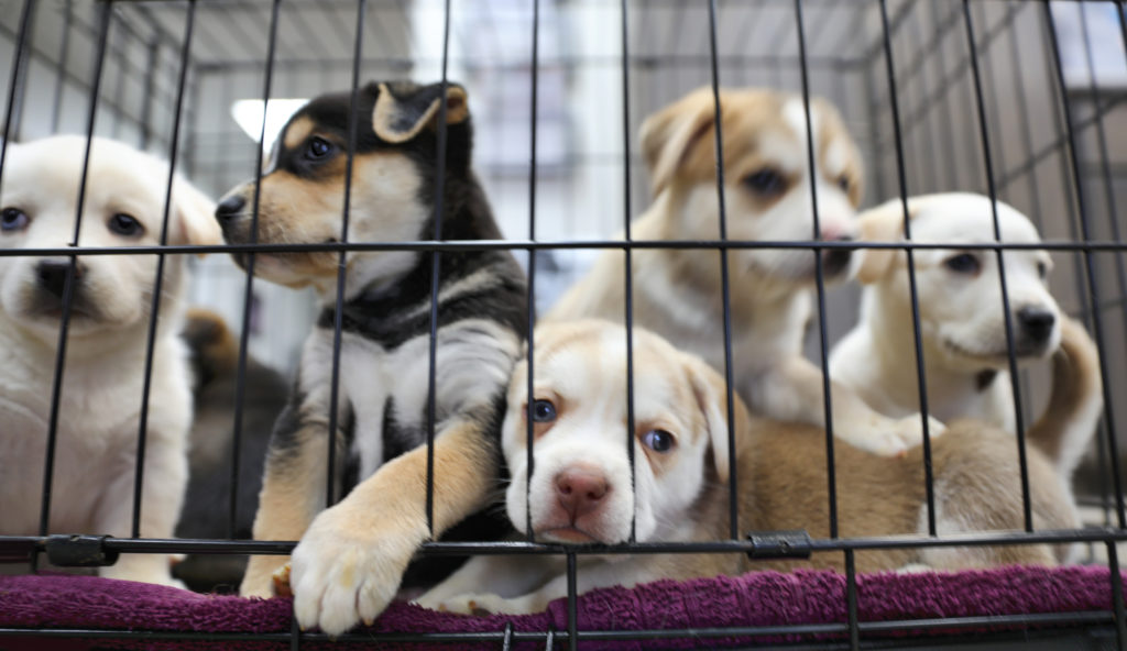 litter of puppies in kennel
