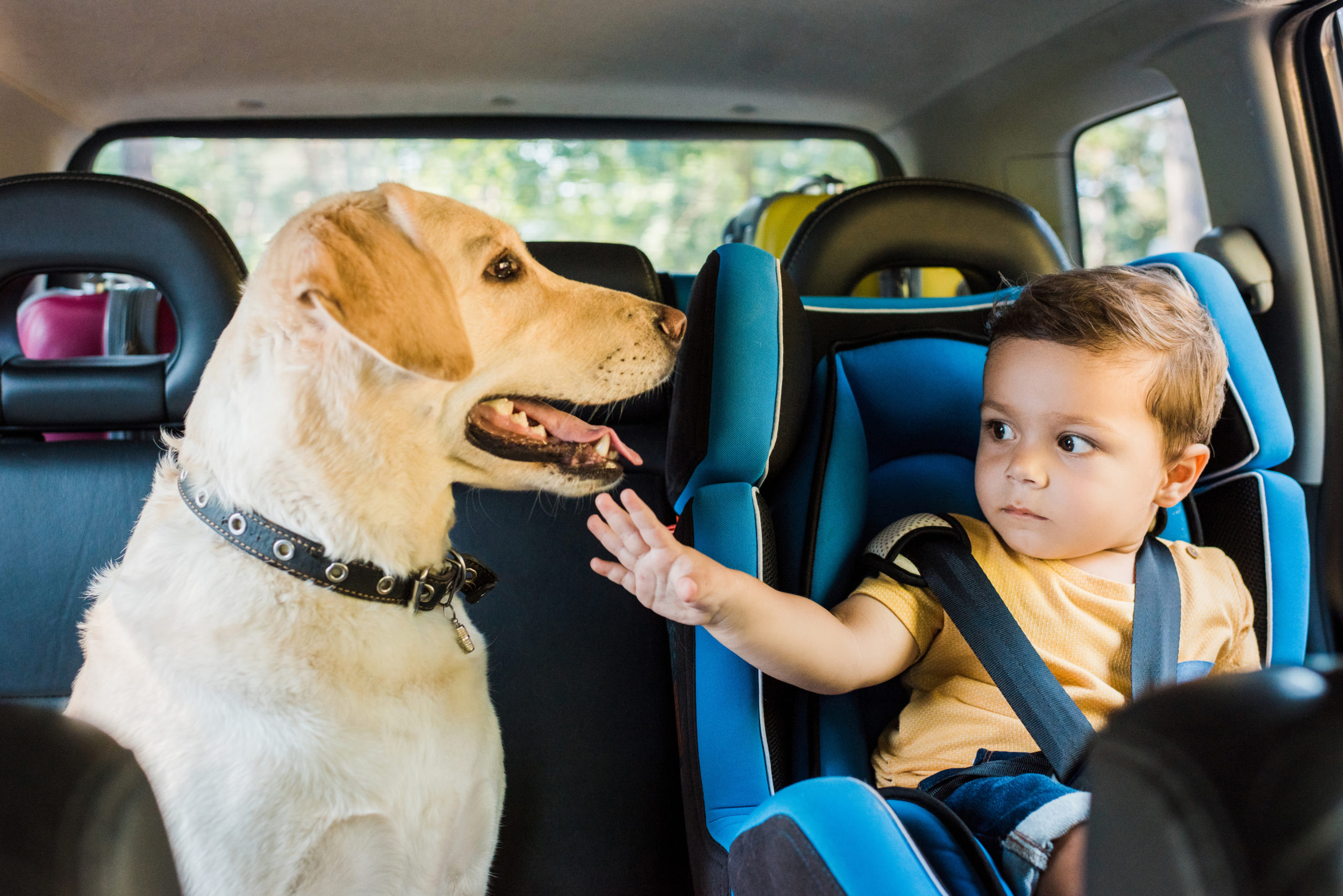 young boy in car booster seat reaches for yellow lab next to him