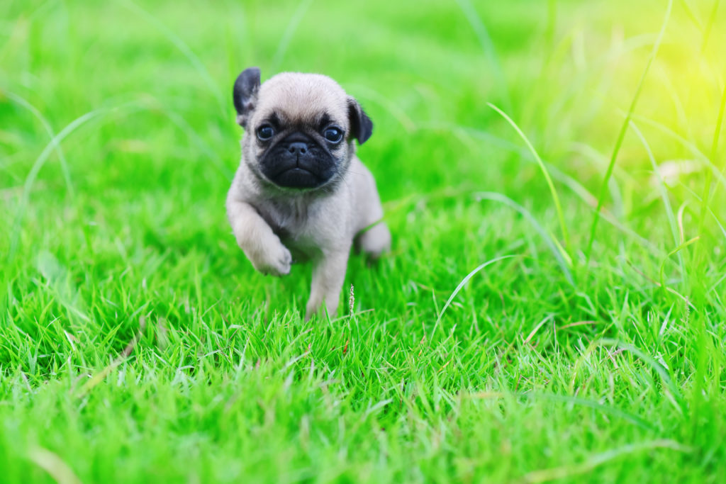 pug puppy runs in the grass