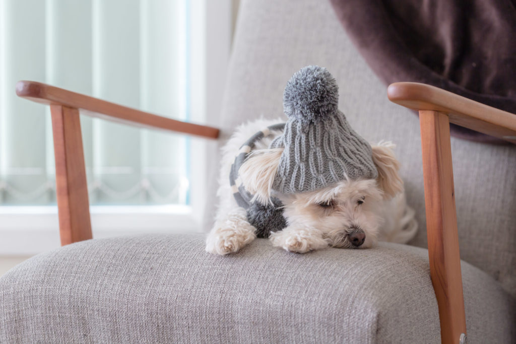 small white dog sleeping in winter hat