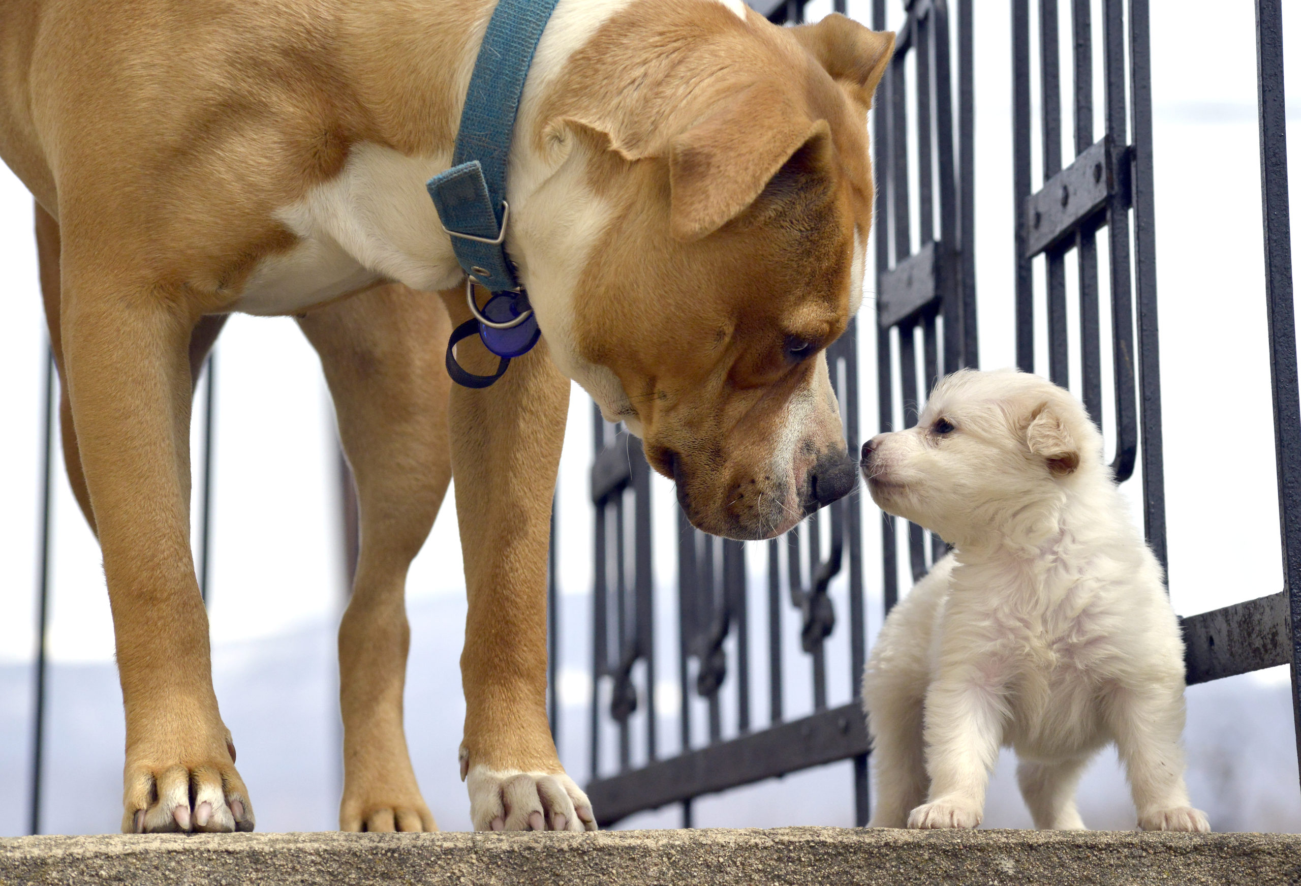 large dog sniffs small puppy on steps