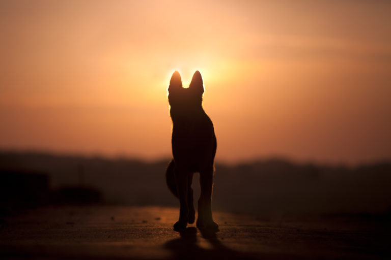 Dog backlit silhouette in sunset
