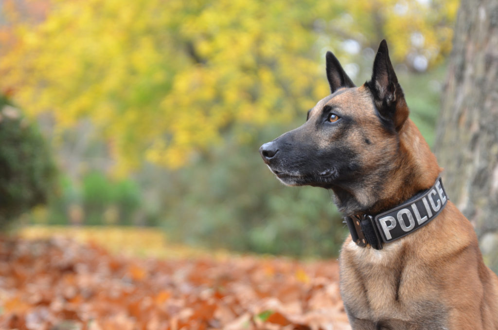 police dog sitting outside in the fall
