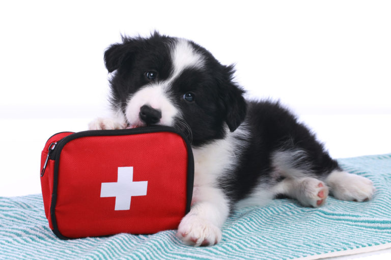 border collie puppy with first aid kit