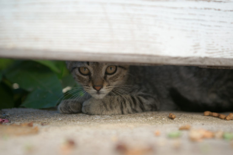 tabby cat peeks out from under fence