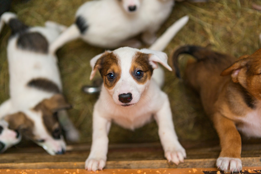 puppies in a box, looking up at camera