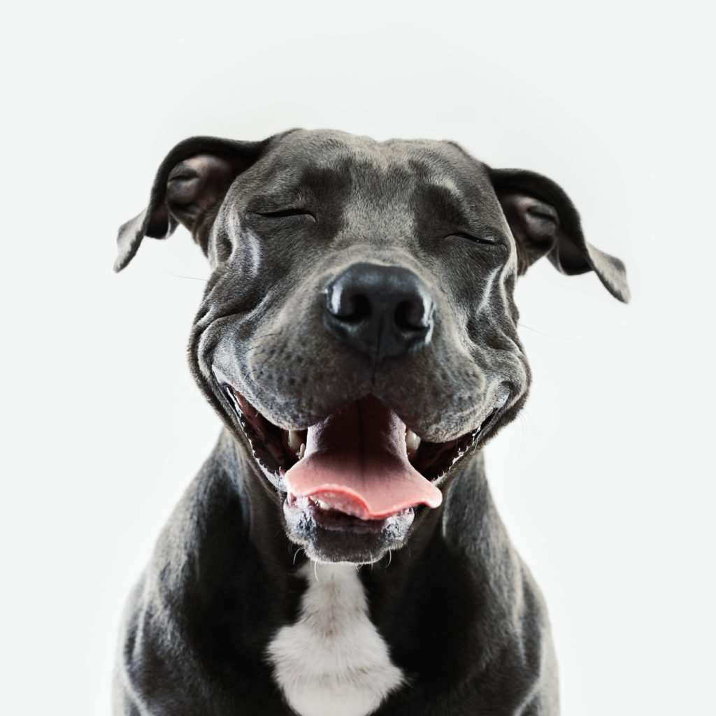 happy pit bull smiling at camera