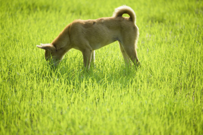 dog sniffing or eating grass in field
