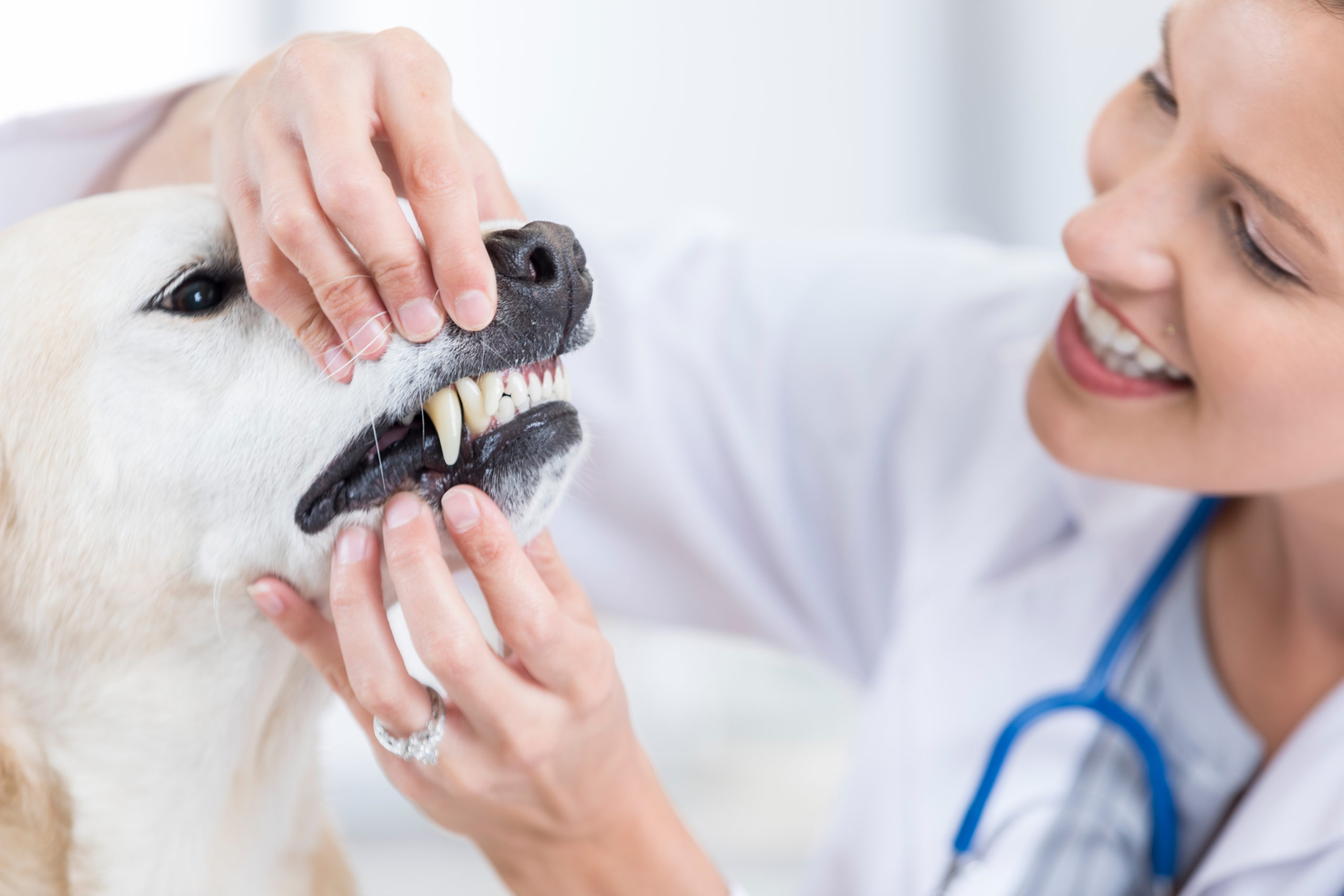 vet examines yellow lab's teeth