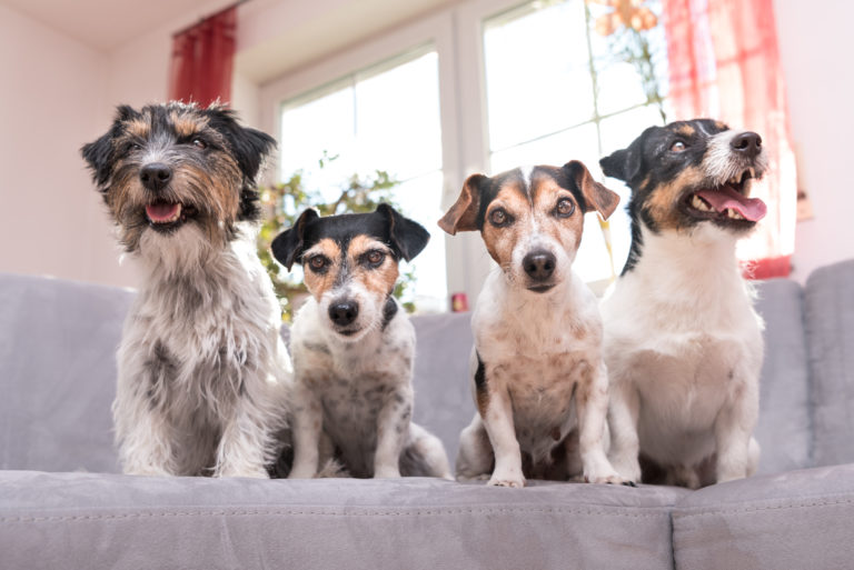 4 jack russell terriers on sofa