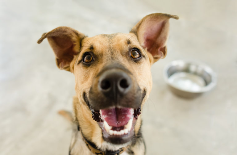 happy shepherd mix with water bowl in background