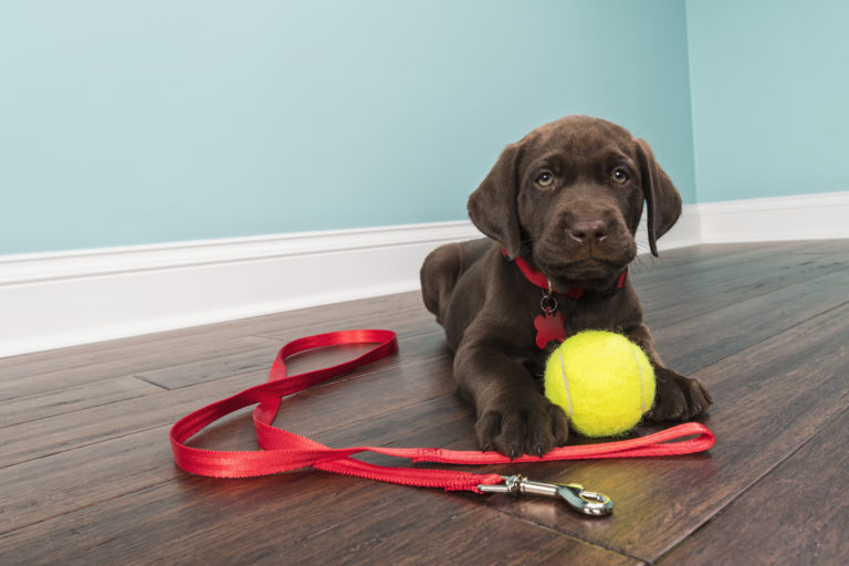 chocolate lab puppy with tennis ball and red leash