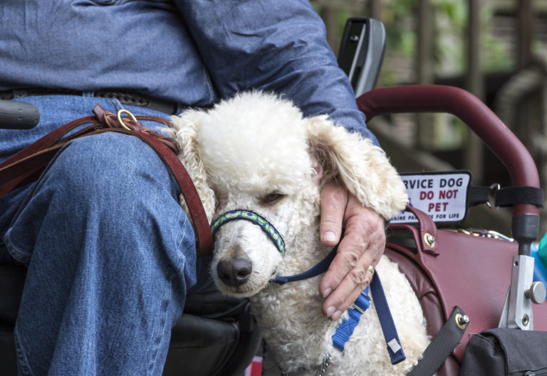 poodle service dog hugs person