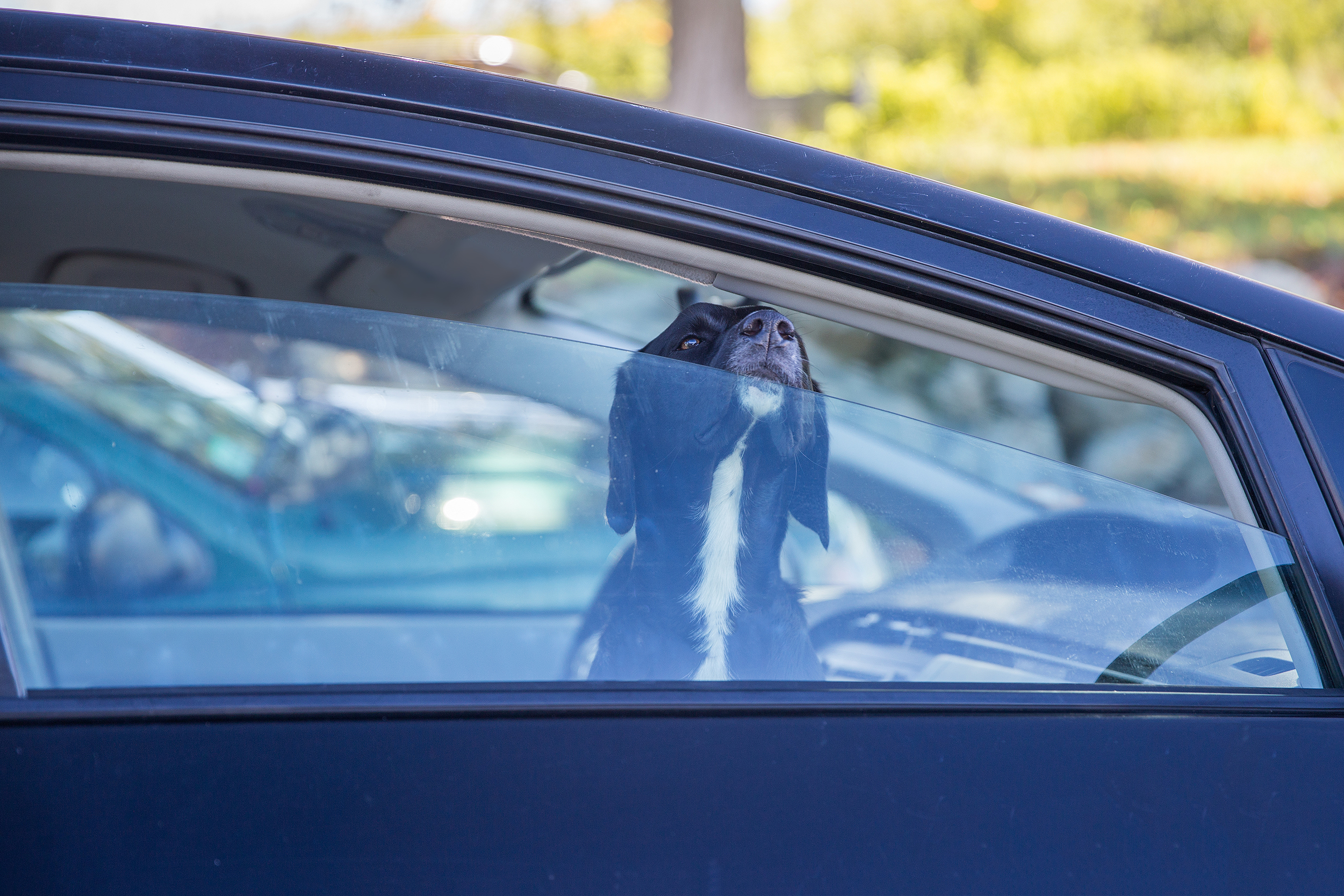 dog sticks nose out of partially rolled car window in parking lot