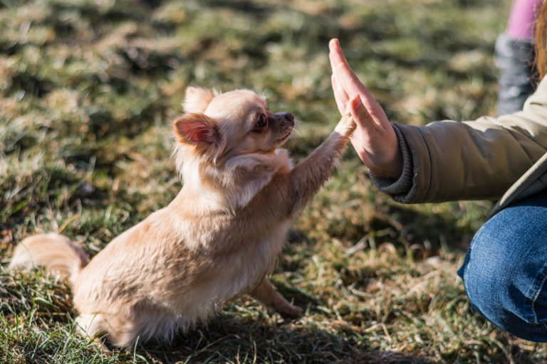 someone high fives a chihuahua