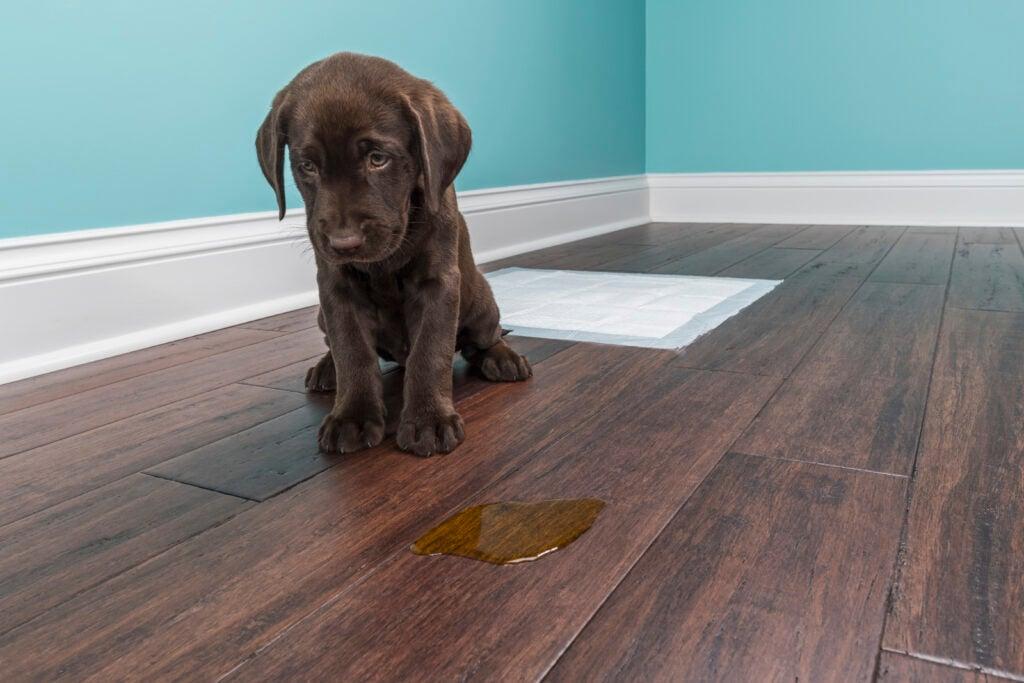 sad chocolate lab puppy missed the training pad and peed on the floor