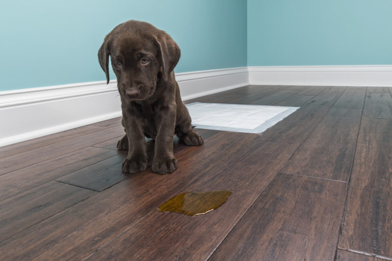sad chocolate lab puppy missed the training pad and peed on the floor