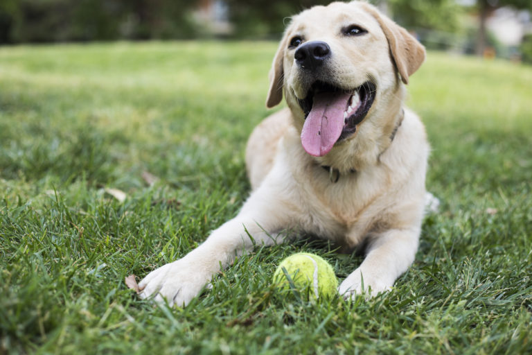 yellow lab lays with tennis ball outside