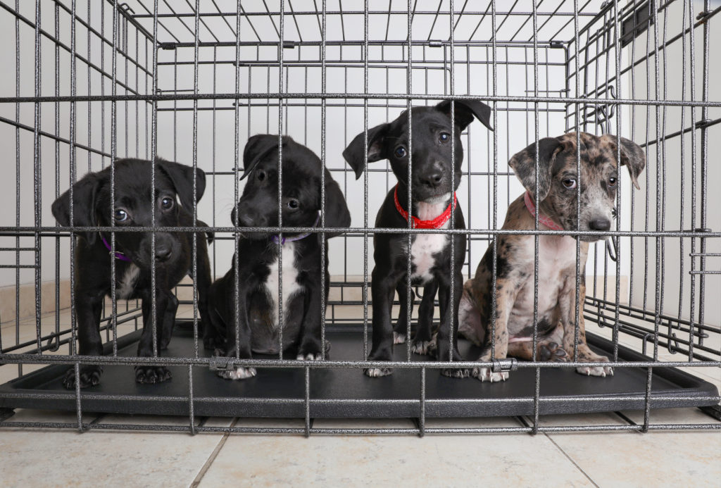 four puppies in a kennel