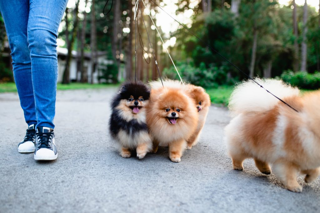 4 fluffy small dogs on leashes get a walk