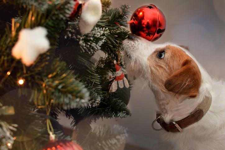 jack russell investigates christmas tree