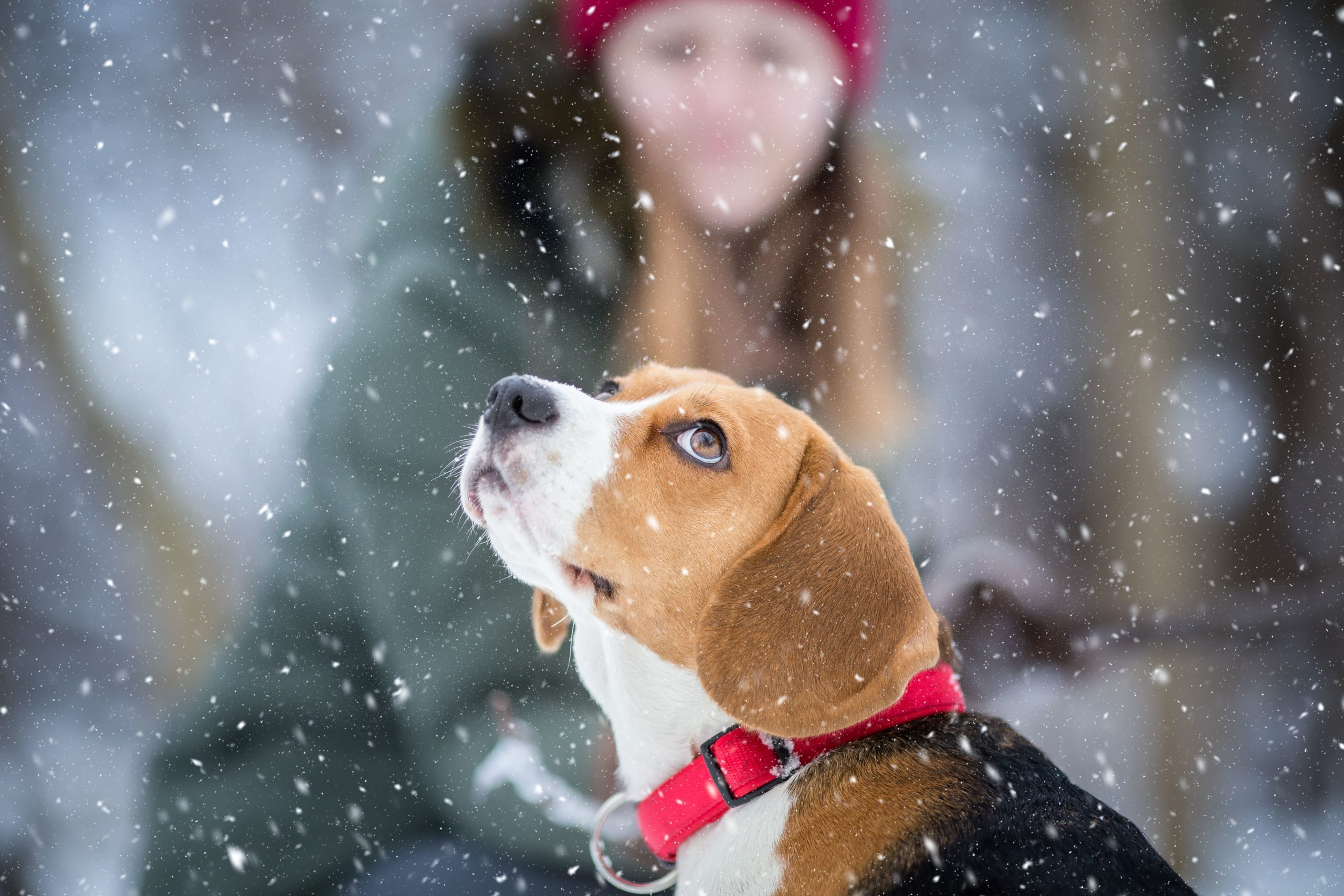 beagle puppy watches snow fall