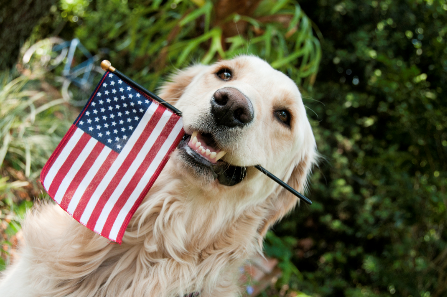 golden retriever holds american flag in mouth