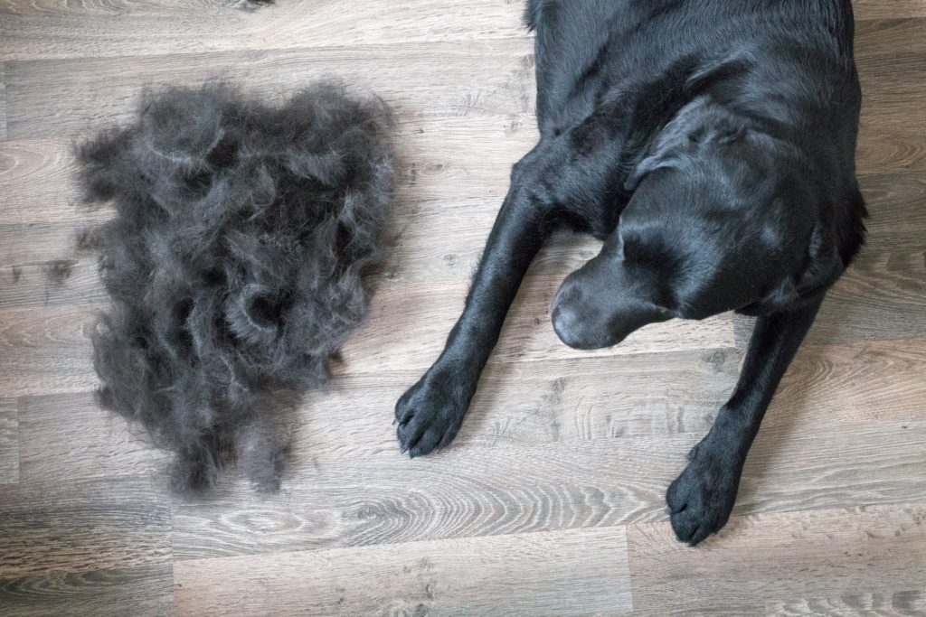 black dog sits next to pile of fur