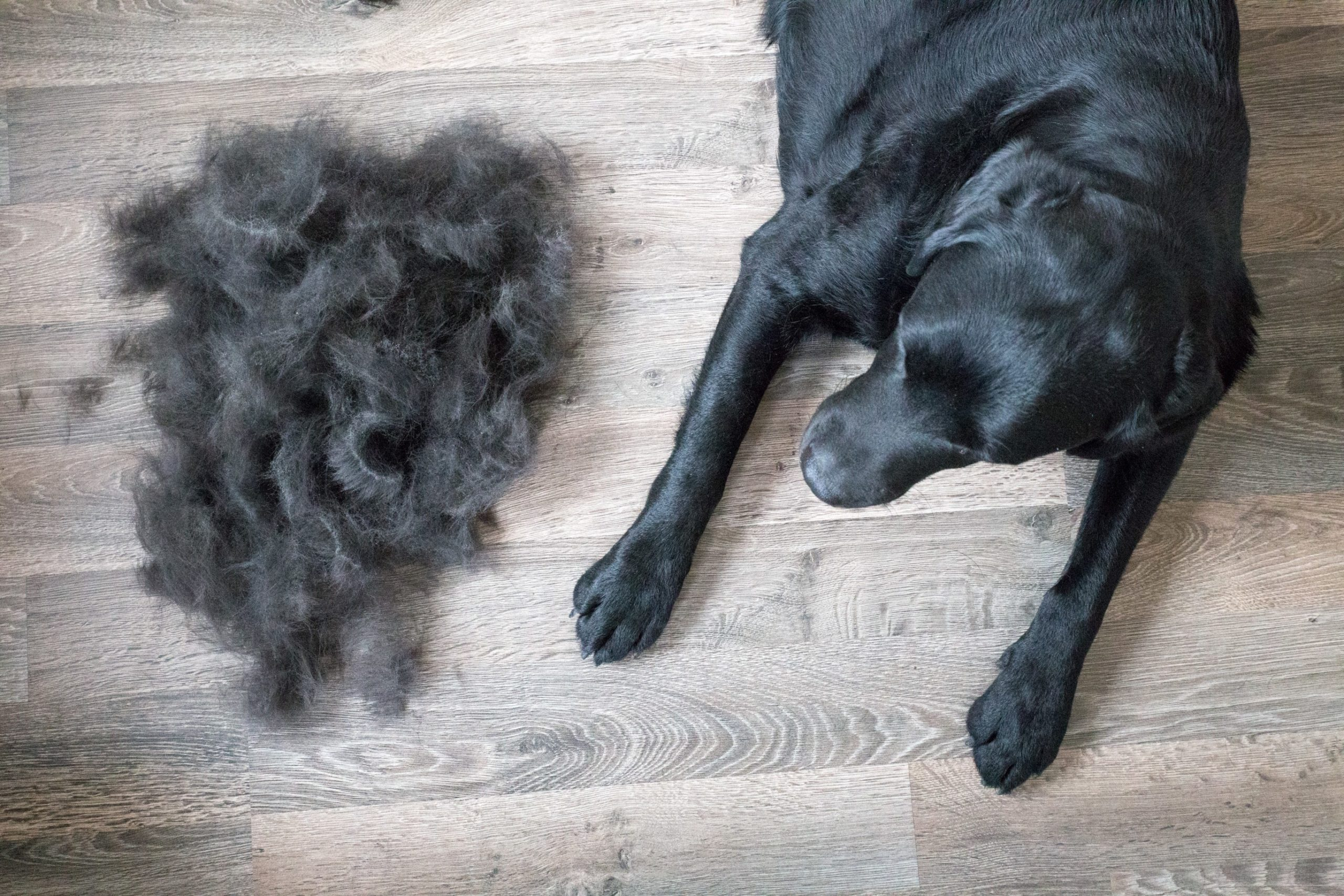 black dog sits next to pile of fur
