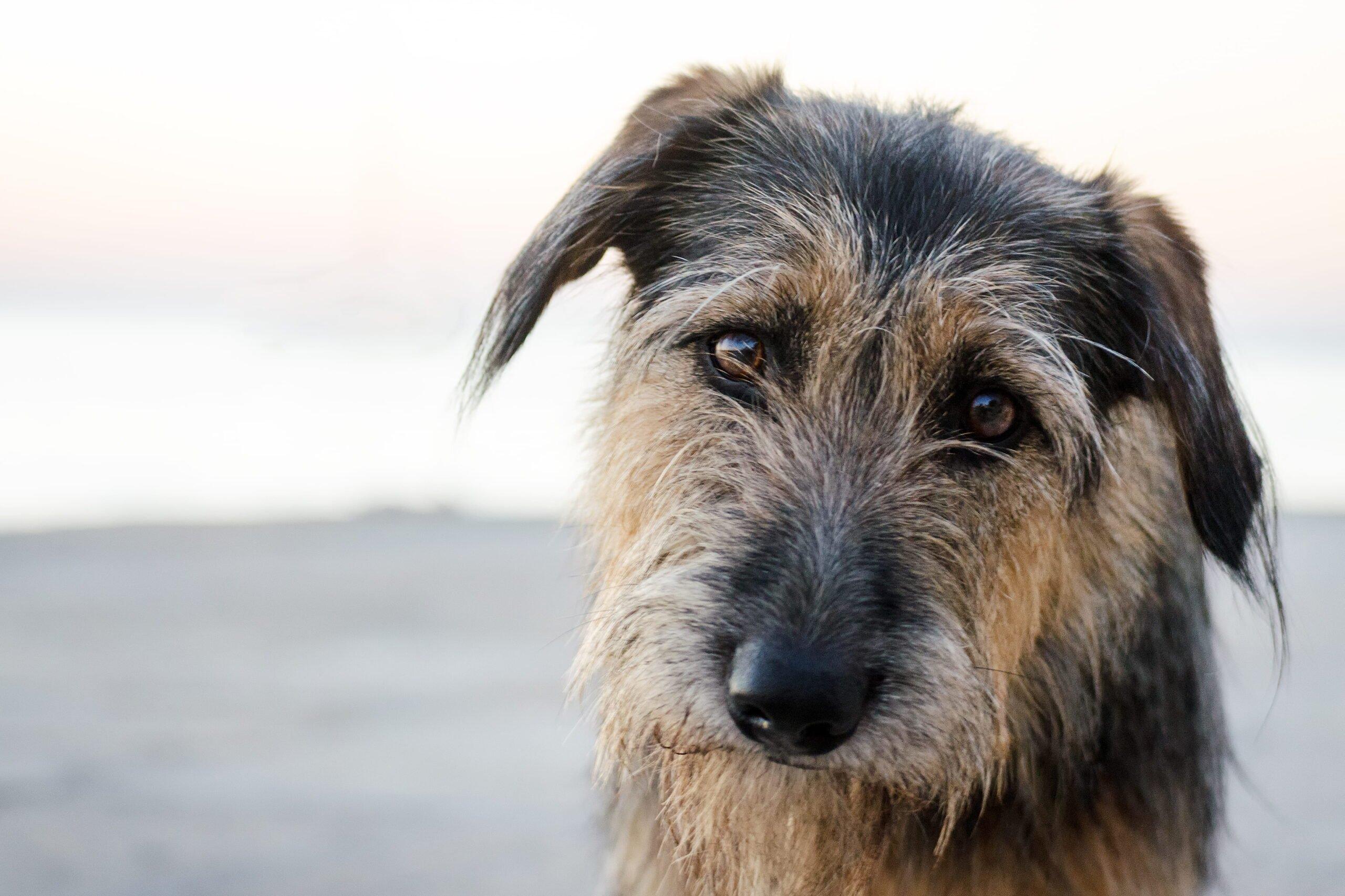 wiry dog looks at camera