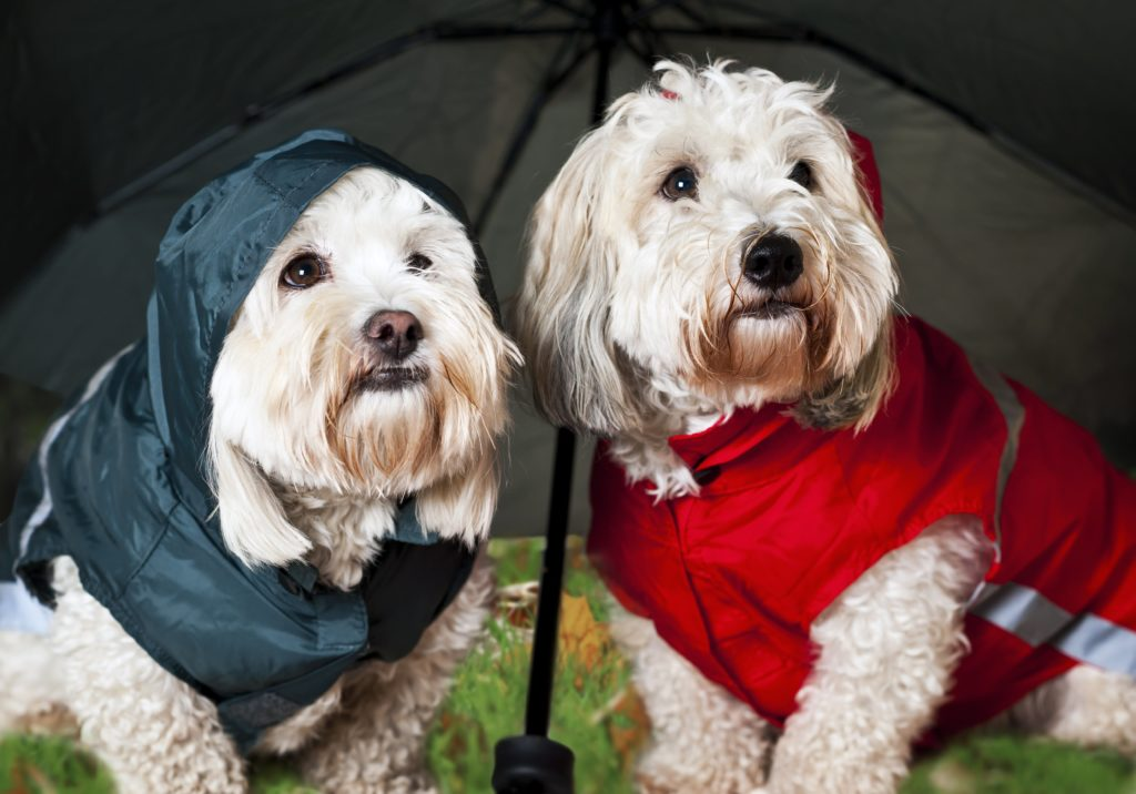 two small dogs in rain jackets under umbrella