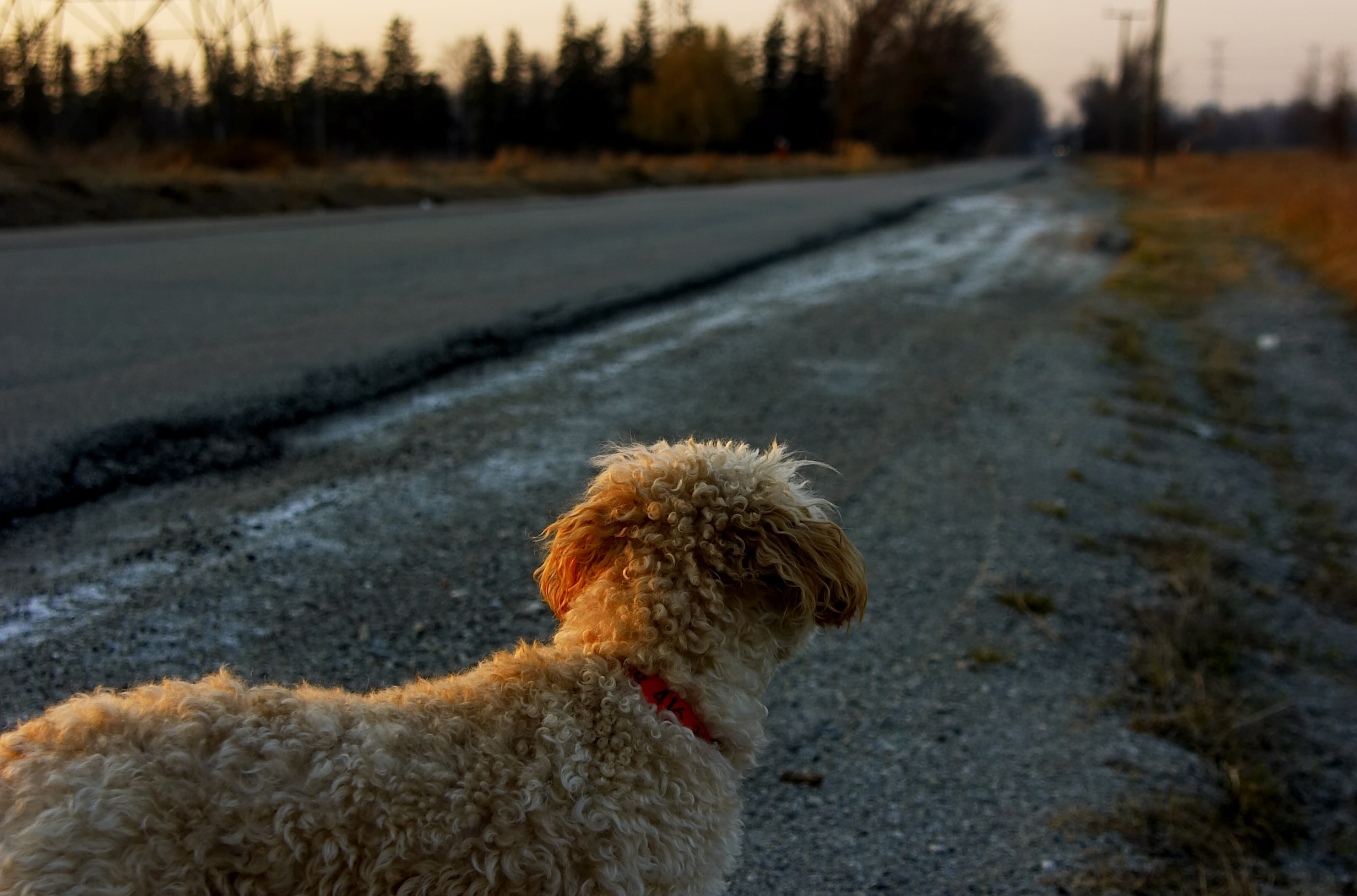 curly dog looks down empty rural road