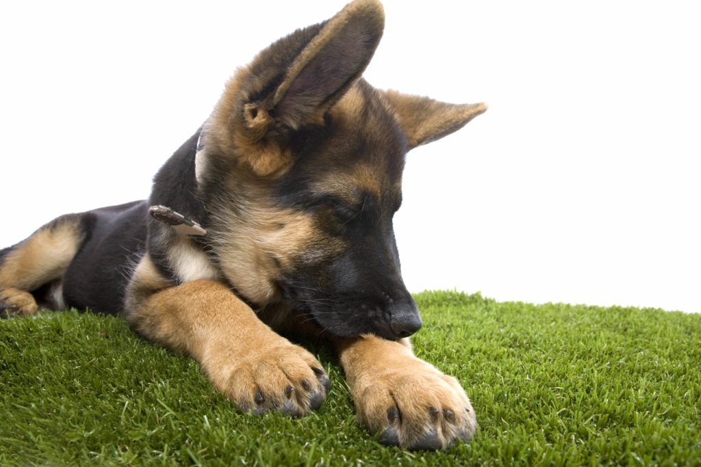 german shepherd bites paw outside