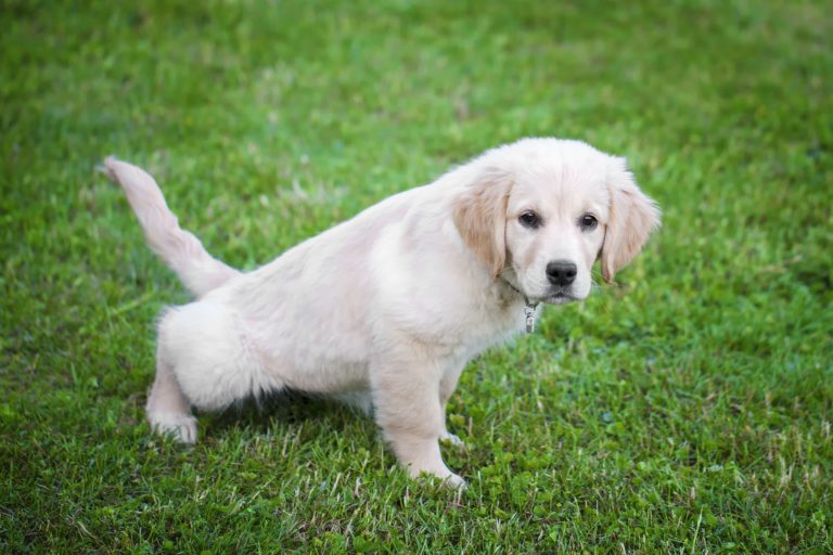 golden puppy peeing outside
