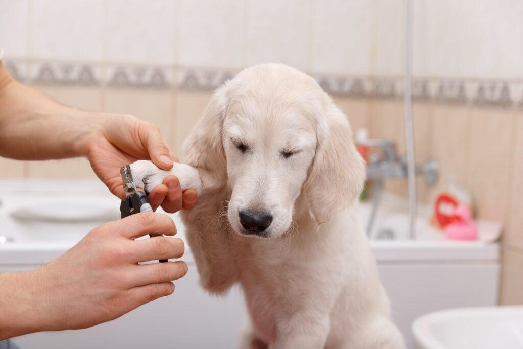 golden retriever puppy getting nail trim