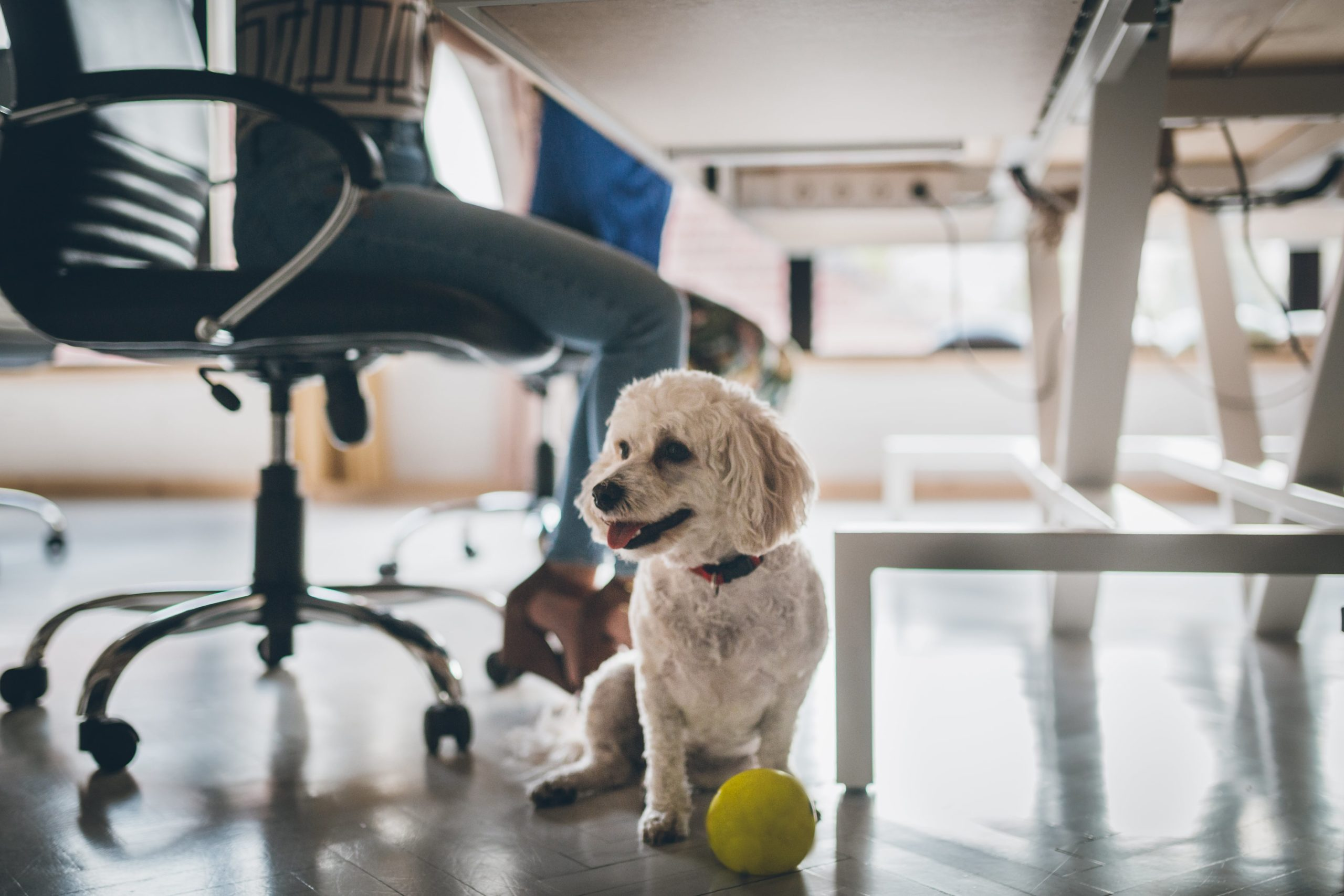 white poodle sits under work desk in office with ball