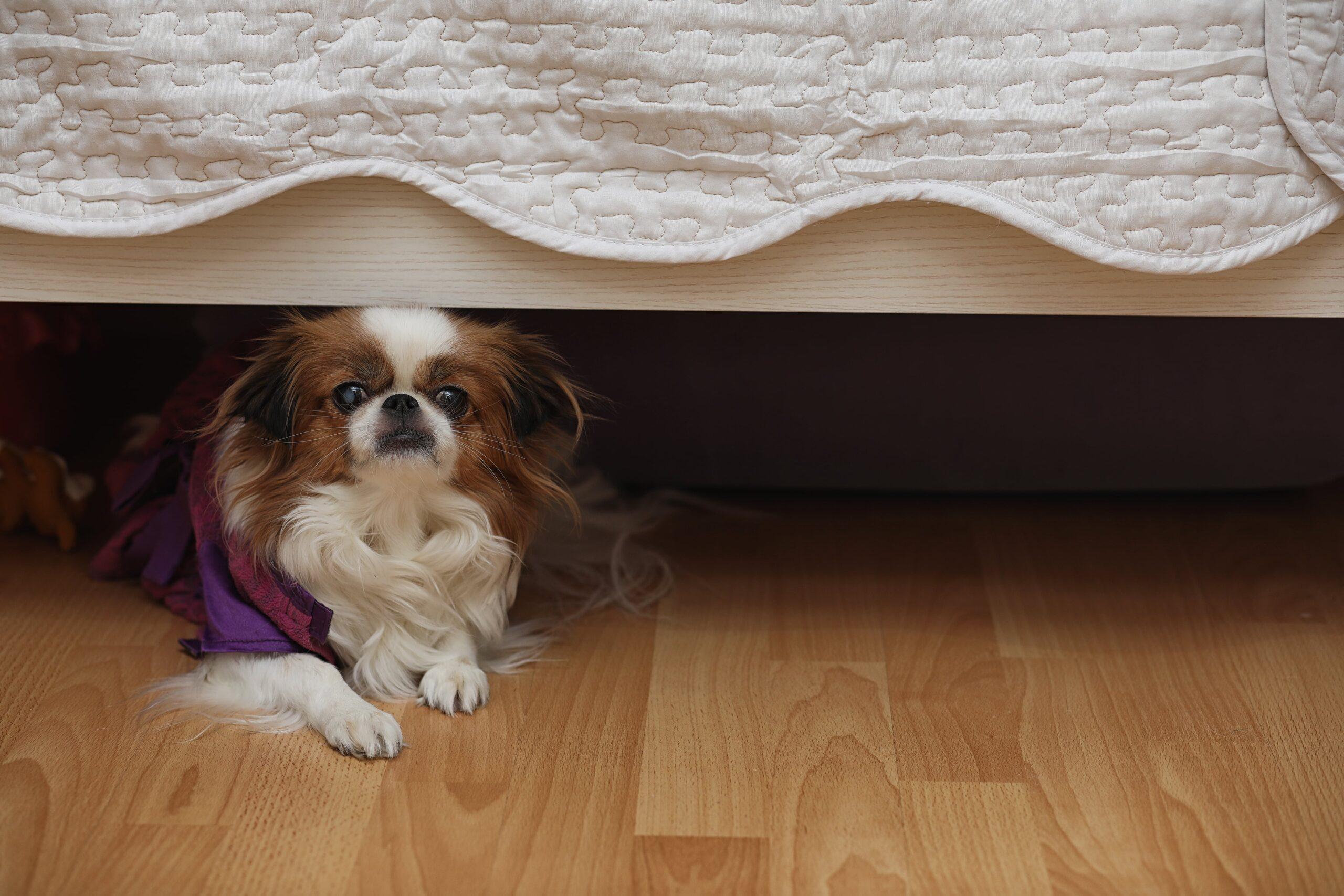 spaniel under a bed