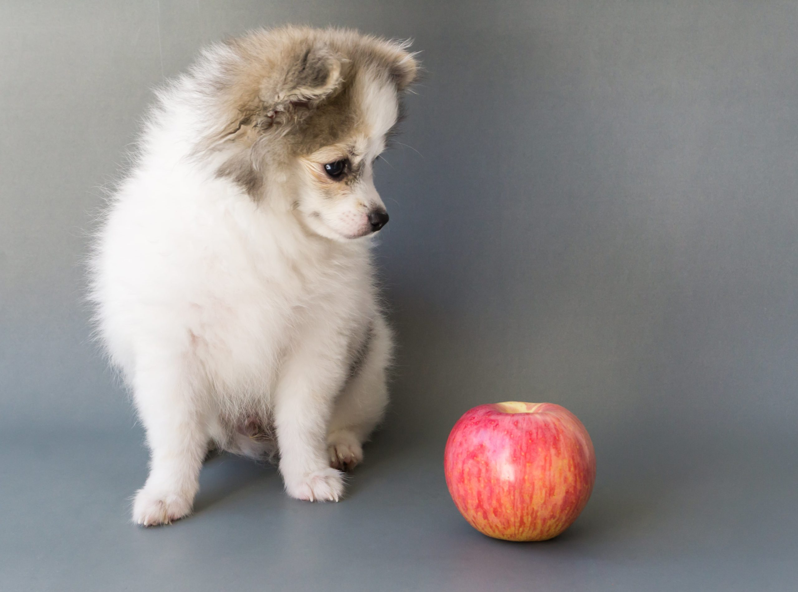 puppy looks at red apple