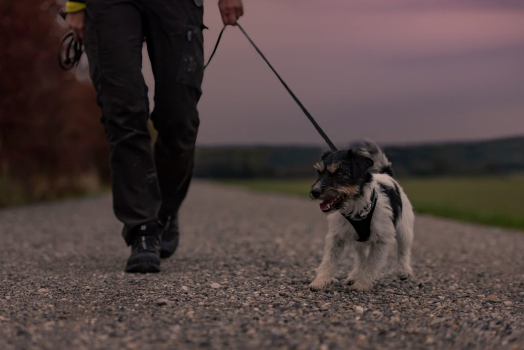 man walks dog at sunset, dog is pulling away