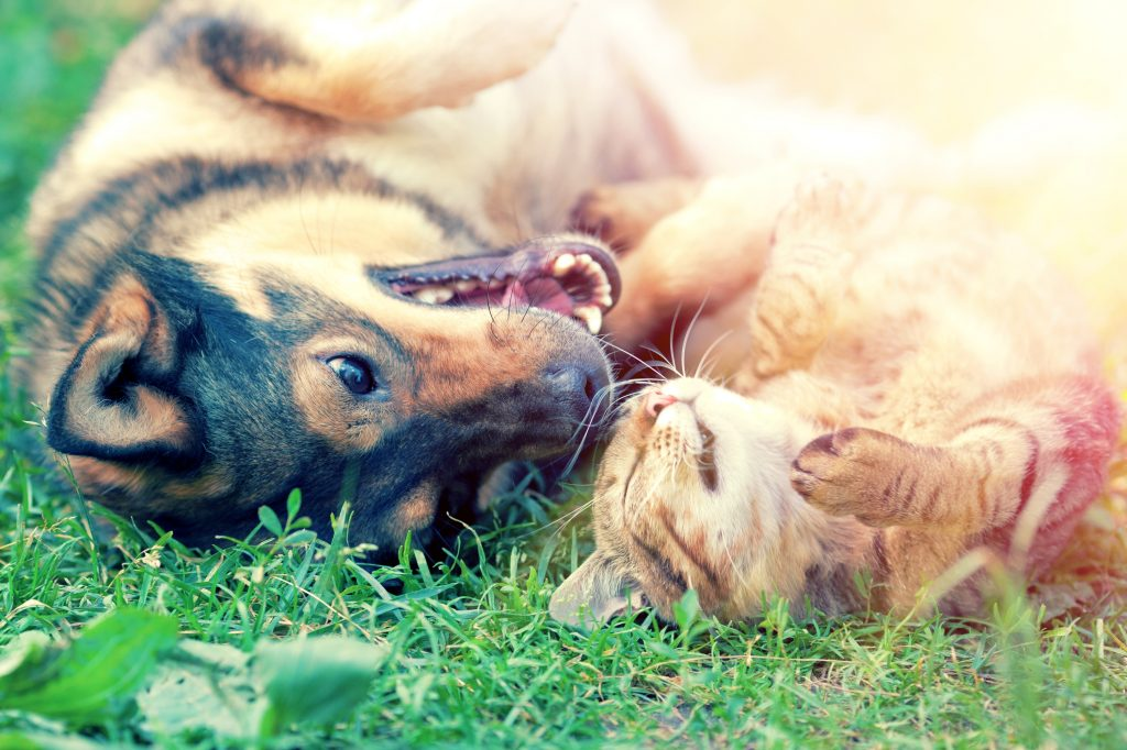 shepherd mix puppy and cat roll in the grass together