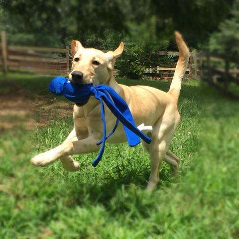 Bailey playing with a KONG Wubba dogs need jobs