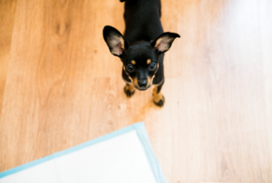 black and brown small breed puppy next to pee pad