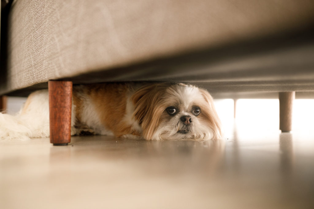 brown and white shih tzu hiding under sofa