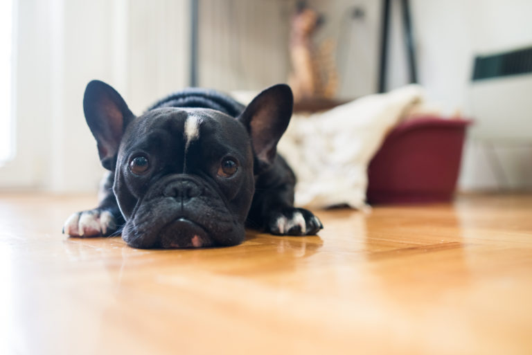 Black and white french bulldog on the floor
