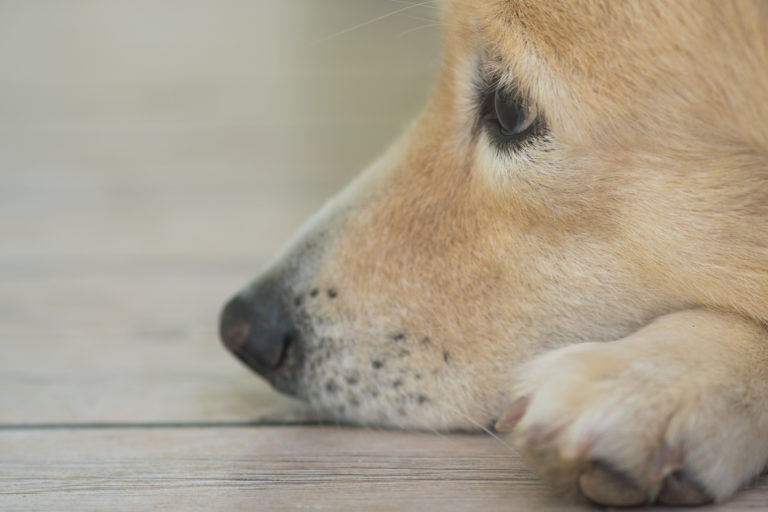 older blonde dog's face resting on floor