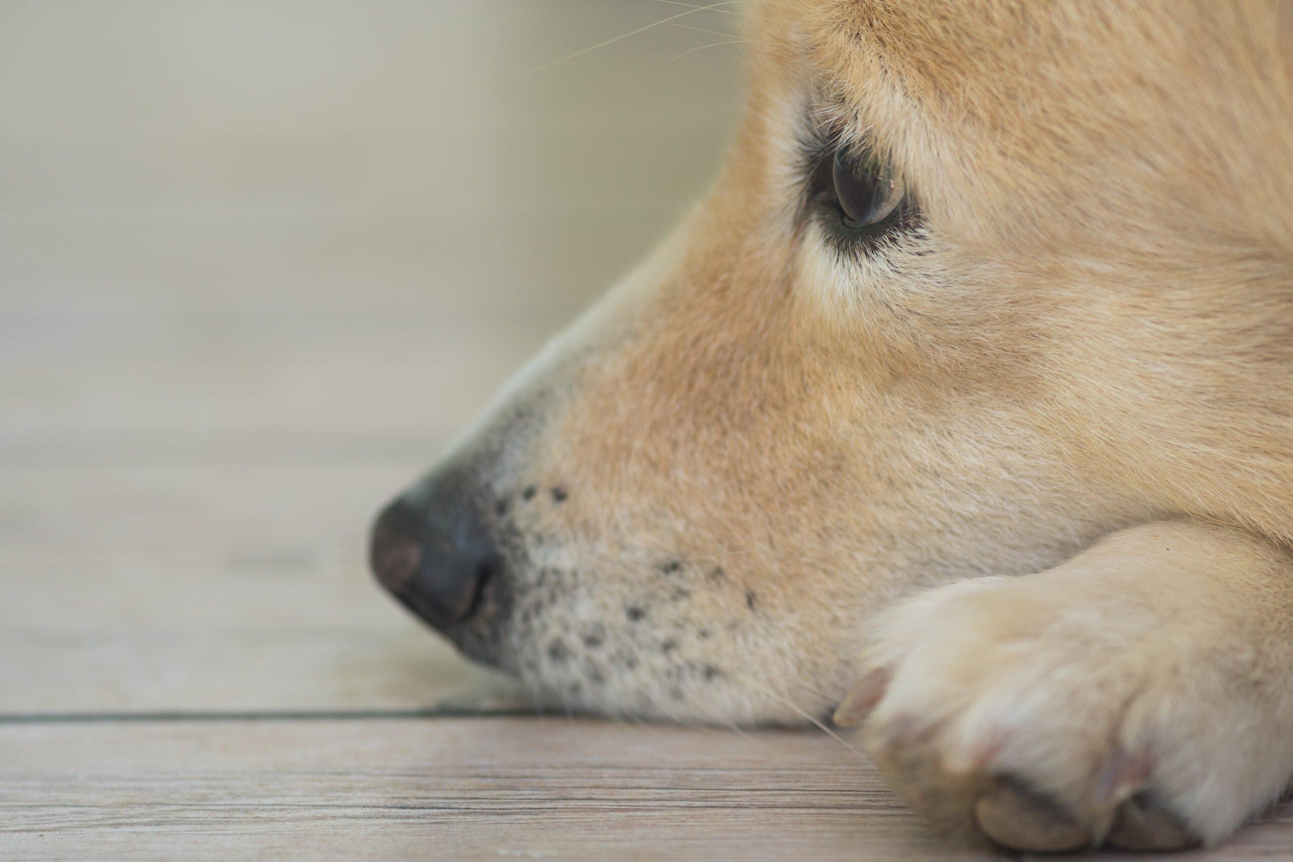older blonde dog's face resting on floor